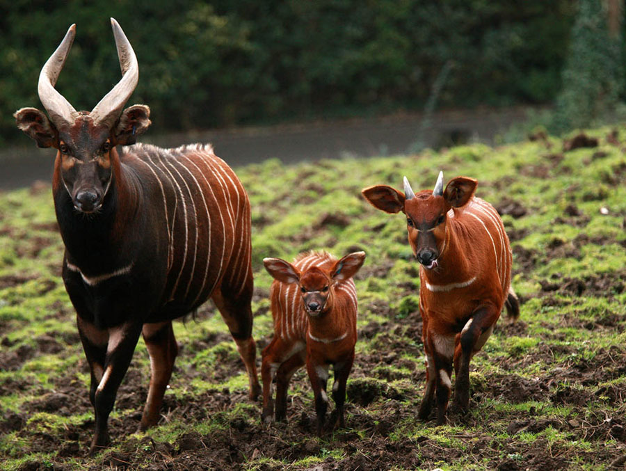 Bouncing Baby Bongos Born at Belfast Zoo | L'amore e forte ...