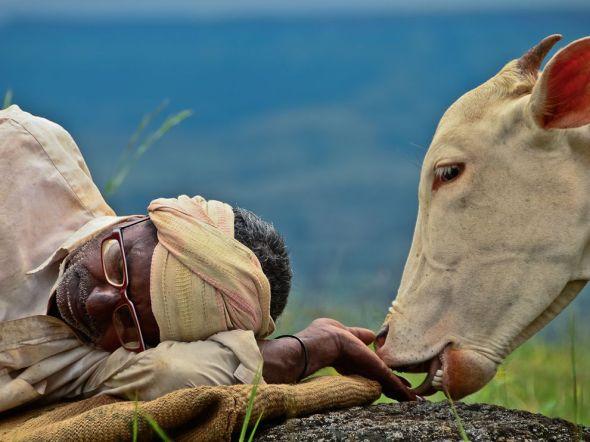 cow-shepherd-india_62675_990x742