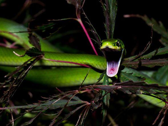 green-snake-yawning_63783_990x742