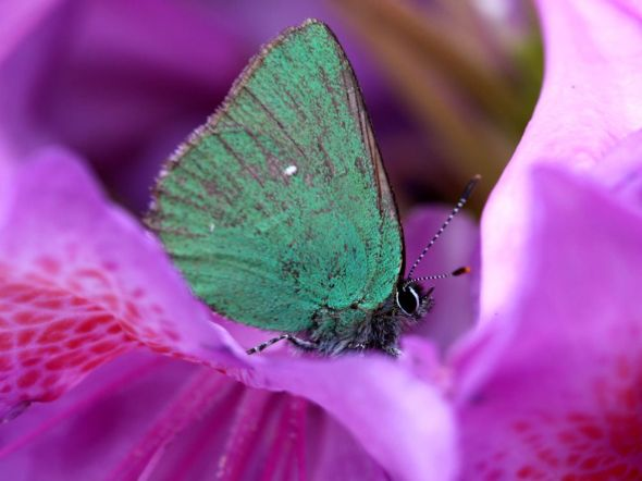 butterfly-rhododendron_65514_990x742