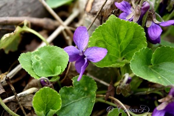 jax and violets3