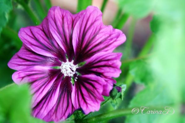 wild geranium, i think, 10 june 2013